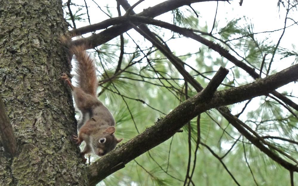 """Get off my lawn!"" says the red squirrel"