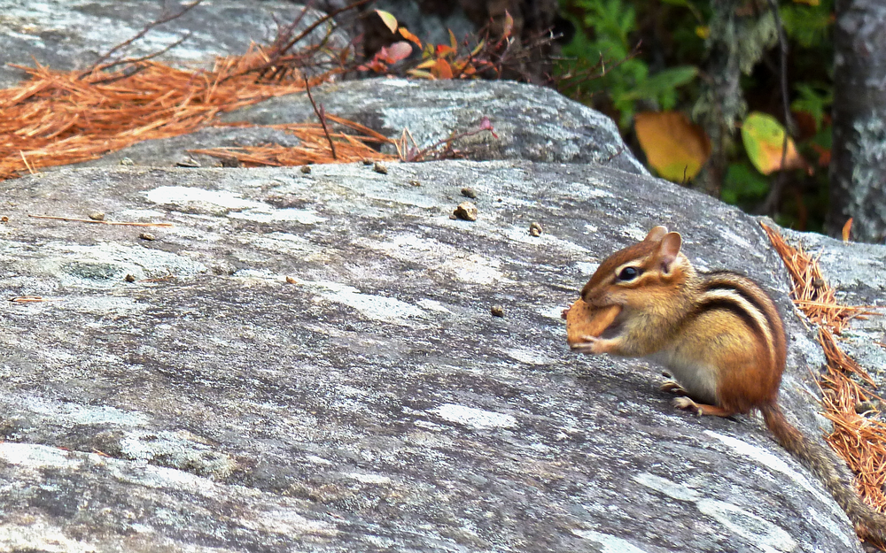 two rivers chipmunk.png