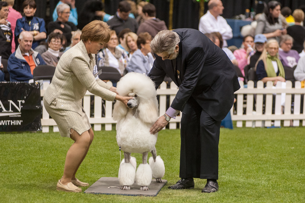 National Poodle Club Competition