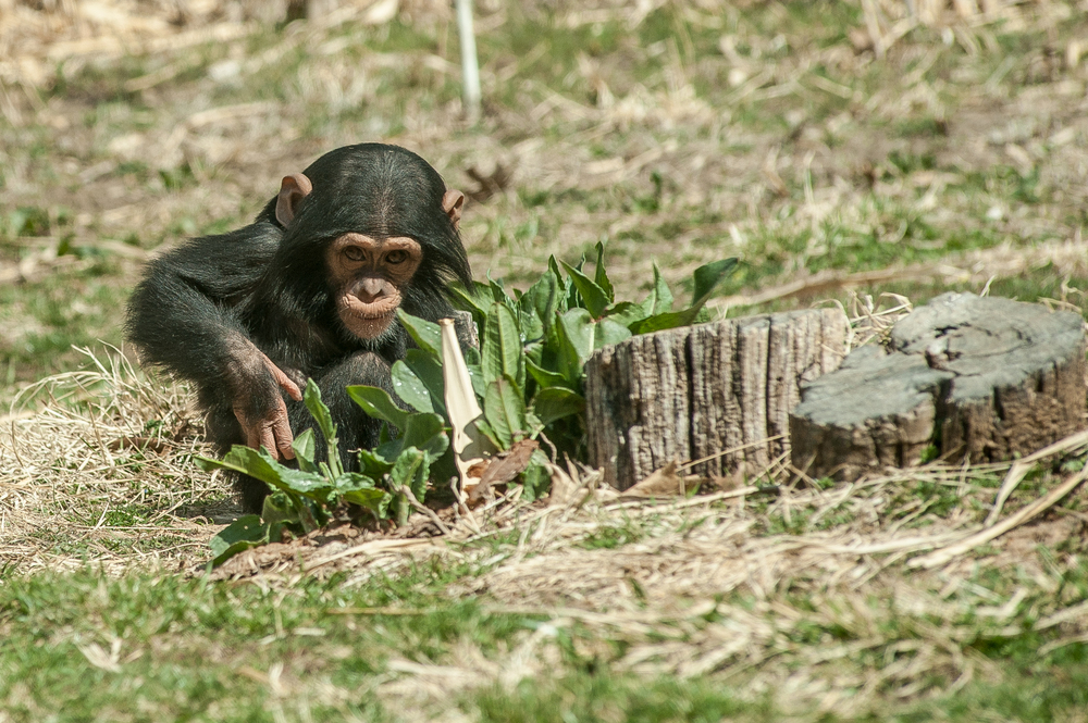 Thirteen month old Nkurukoto plays in the leaves in the outside area of the chimpanzee enclosure during Customer Appreciation Day at Sunset Zoo.