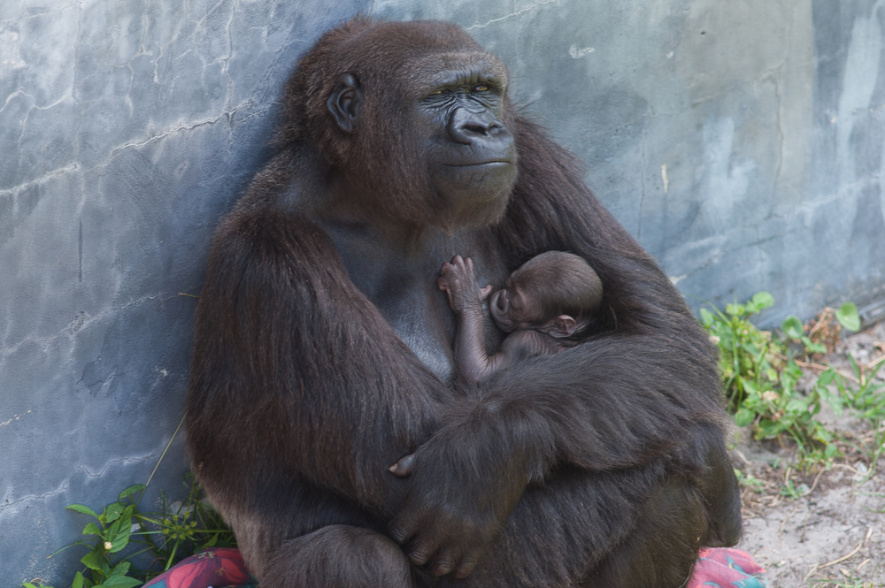 Just in time for Mothers Day, the Jacksonville Zoo welcomed a new addition. Madini, a Western Lowland Gorilla gave birth at 8:35 PM on Saturday, May 9, 2015 to a healthy baby. This is her first live birth. Momma and baby are both doing well.
