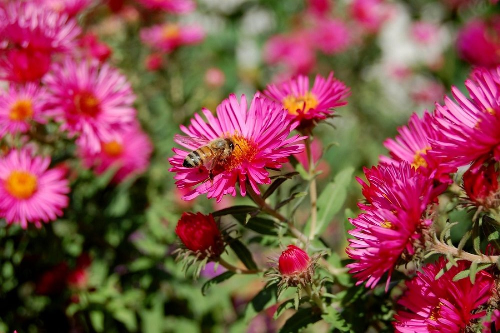 A bee pollinates an aster, one of the native wildflowers of Georgia. During National Planting Day choose to plant native species that can improve the health of the local ecosystem.