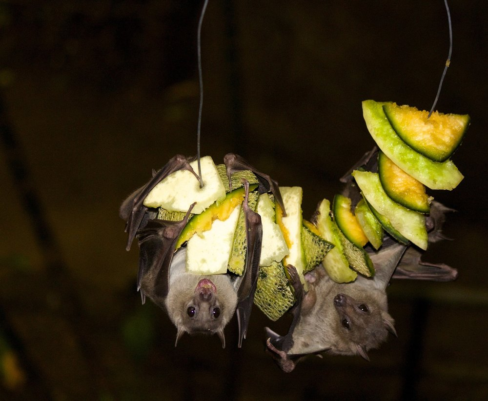 Share with friends and family the importance of bats, like these fruit bats common in Africa, during Bat Week.