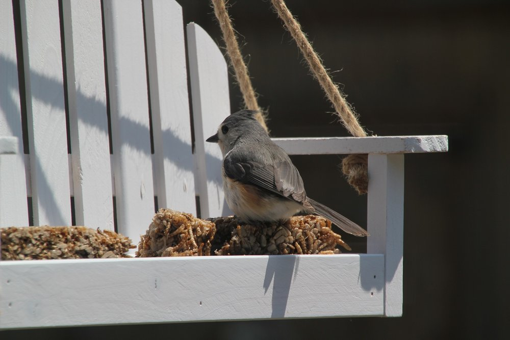 A tufted titmouse enjoys a meal on a mini backyard swing. Birds spotted in the backyard can be counted during a nation-wide bird count this winter season.
