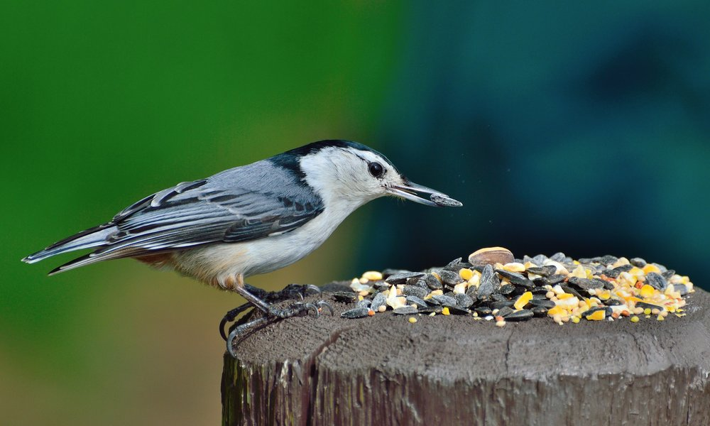 A white-breasted nuthatch enjoys birdseed left outside in a home garden area. Providing food and water to birds in your own backyard is an excellent way to support wildlife this week.