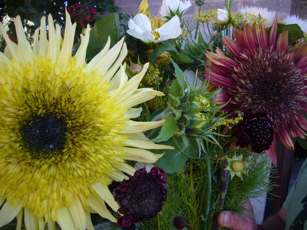 Sunflowers, Scabiosa, Fennel, White Cosmos