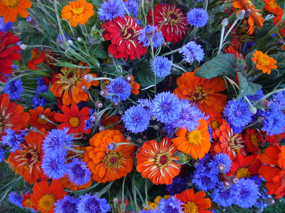 Bachelor Buttons, Mexican Sunflowers & Zinnias