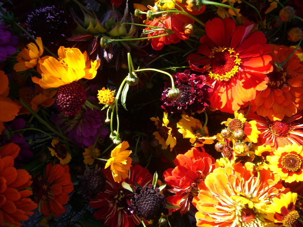 Zinnias, Sabiosa, Bright Lights, Coreopsis, Sunflower