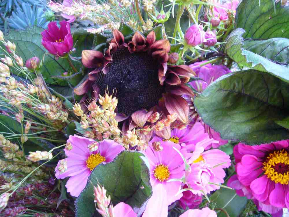 Sorghum, Sunflowers, Cosmo, Zinnia