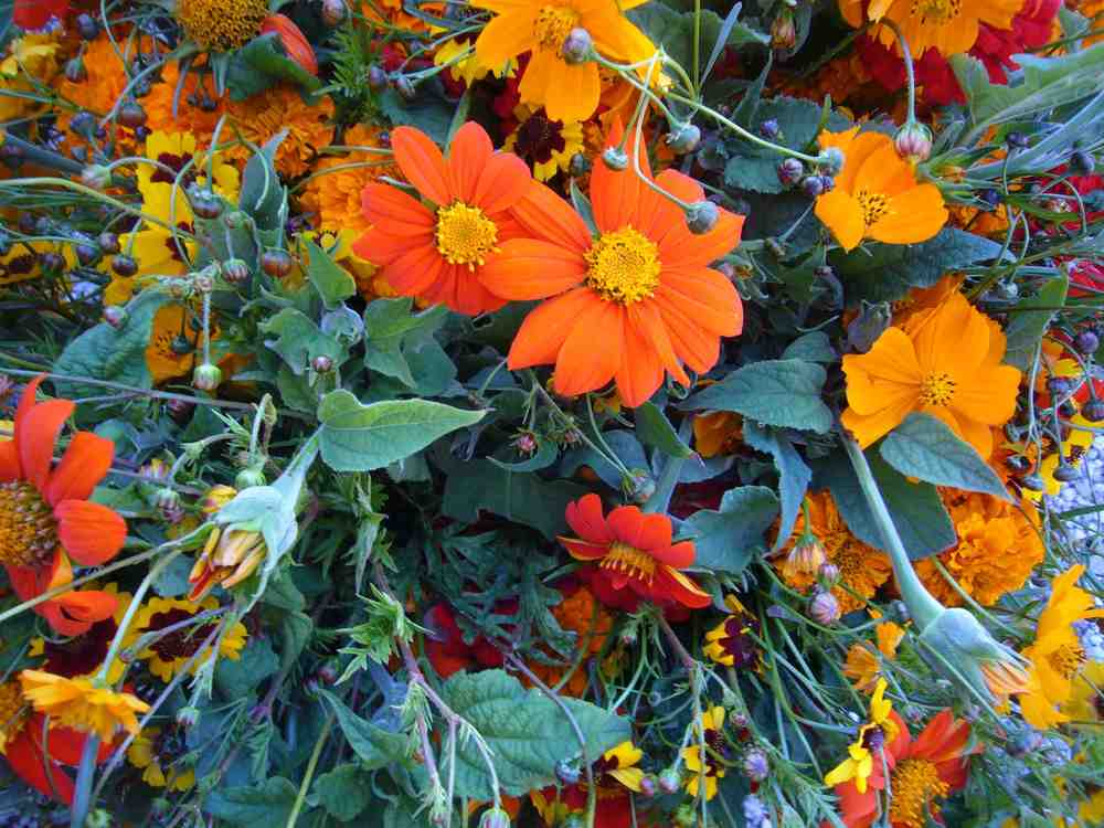 Mexican Sunflowers, Coreopsis, Marigolds