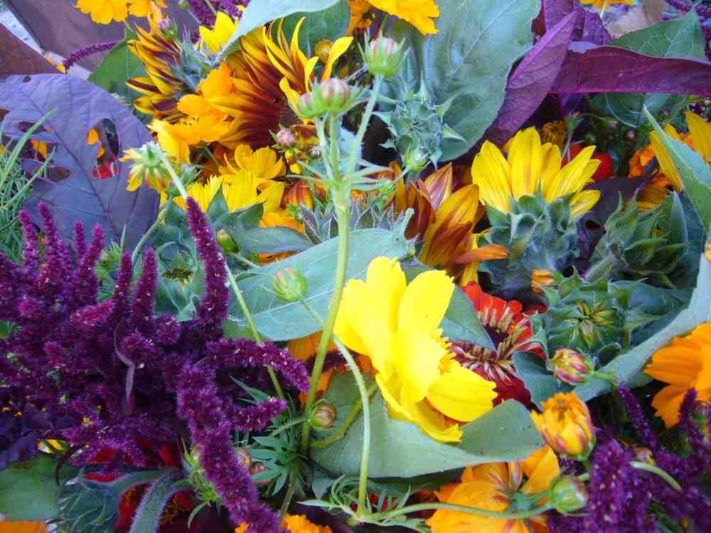 Purple Amaranth, Sunflowers, Cosmos, Amaranth, Zinnias, Bright Lights