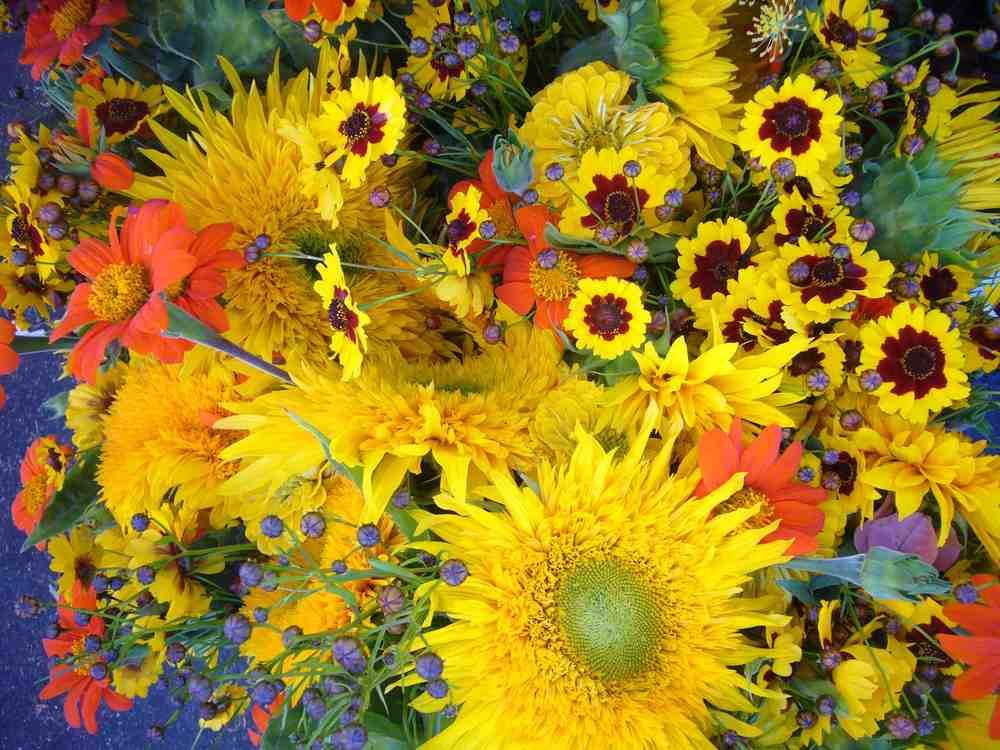 Coreopsis, Mexican Sunflower, Teddy Bear Sunflower