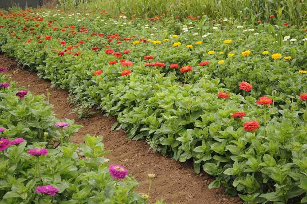 zinnia field.jpg