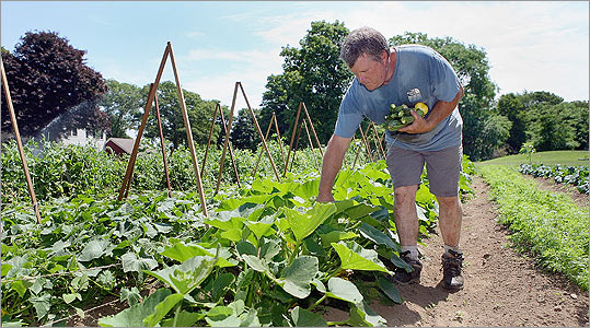 Frank McClelland, chef-owner of L'Espalier and Sel de la Terre, picks zucchini at his Apple Street Farm in Essex, in its second season.