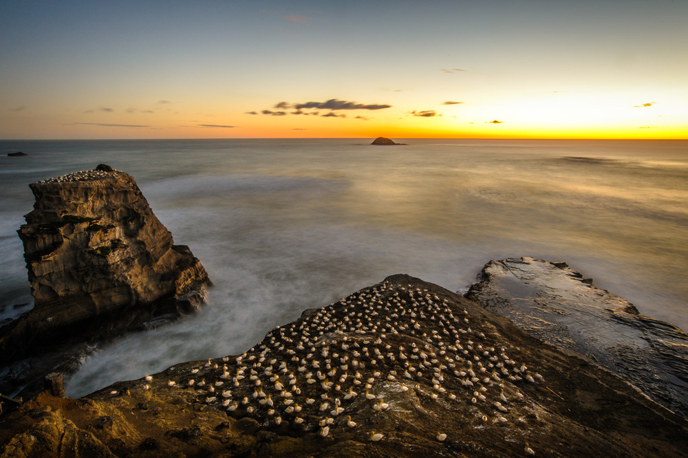 Gannet colonies in the setting sun at Maori Bay. Click to see big!