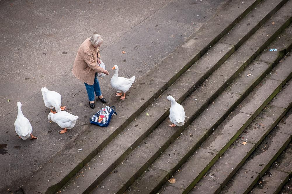Feeding geese in Frankfurt