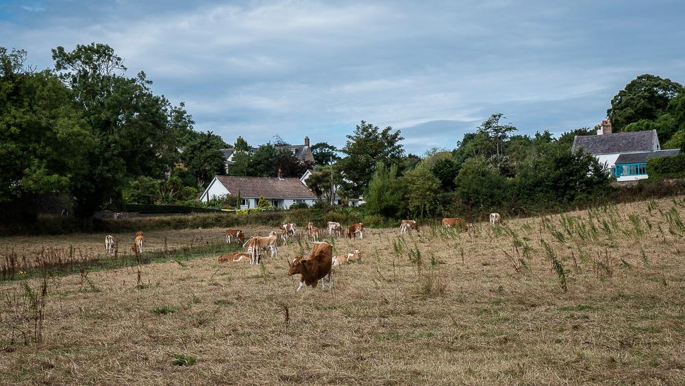 Guernsey Cows!