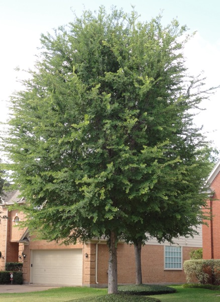 Listed below is a sample of the trees we carry and use in our