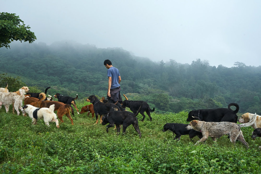 Jose walks with dogs on the 300 acre estate of Territorio De Zaguates, set in lush rain forest north of Costa Rica's capital San Jose.
