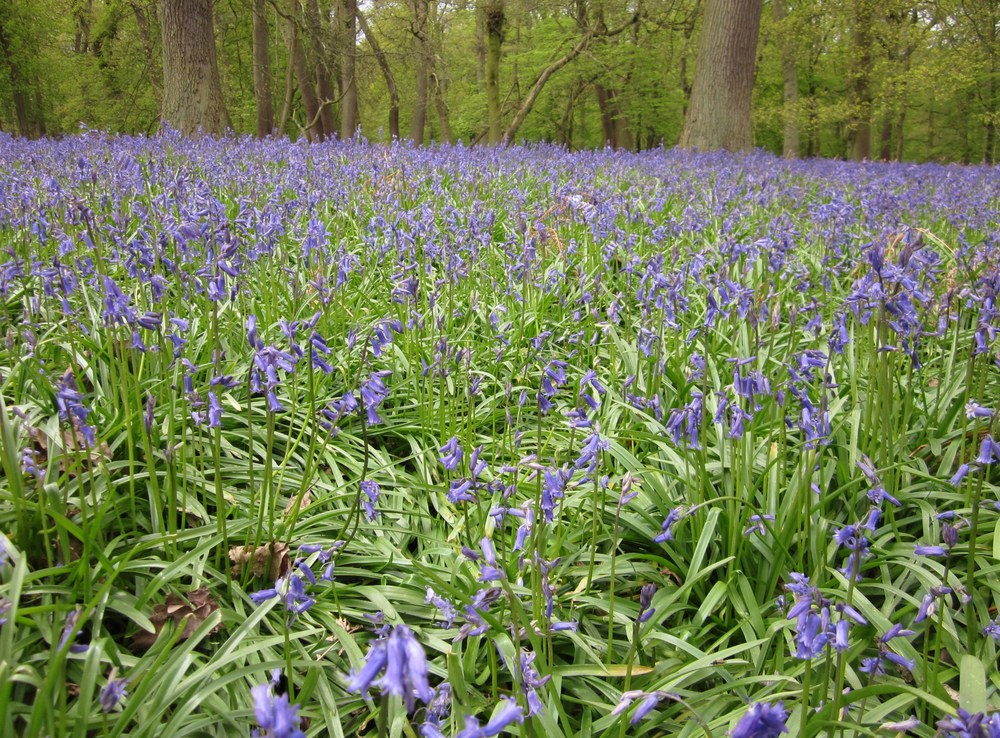 bluebell woods 2012 035