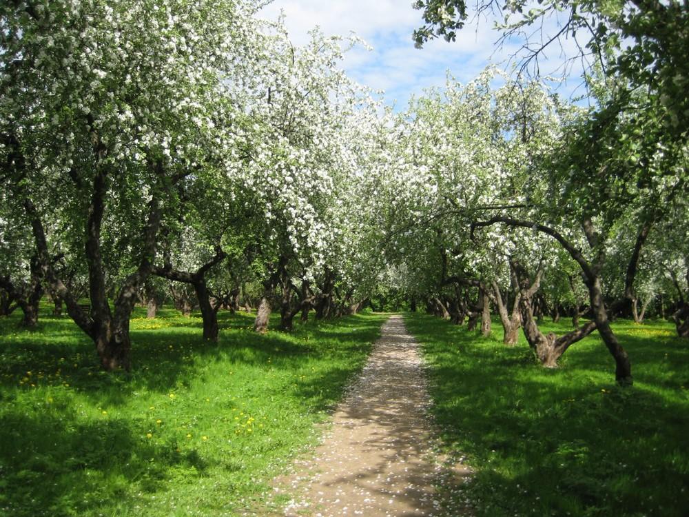 orchard-in-blossom-kolomenskoe-1024x768.jpg