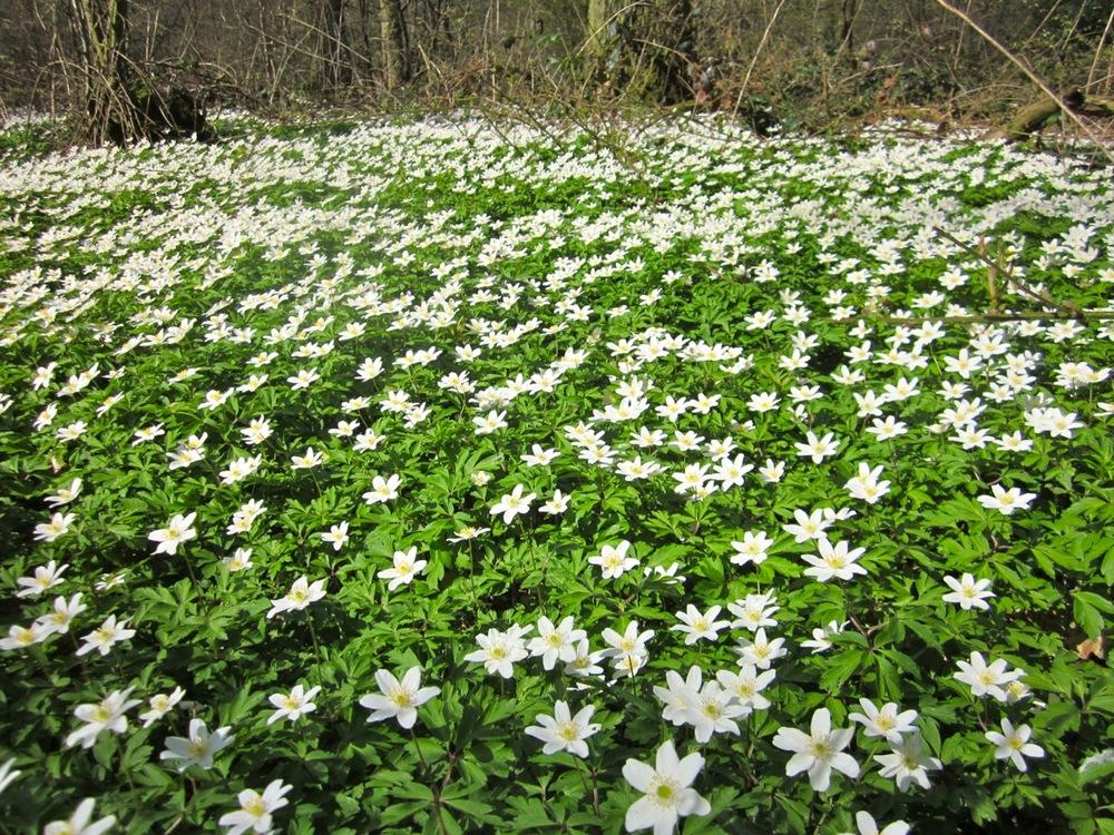 birchanger wood anemones 3.jpg