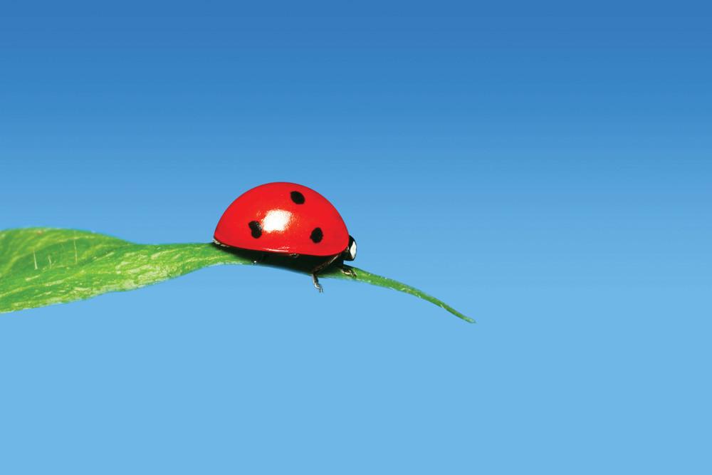 ladybug_highres.jpg