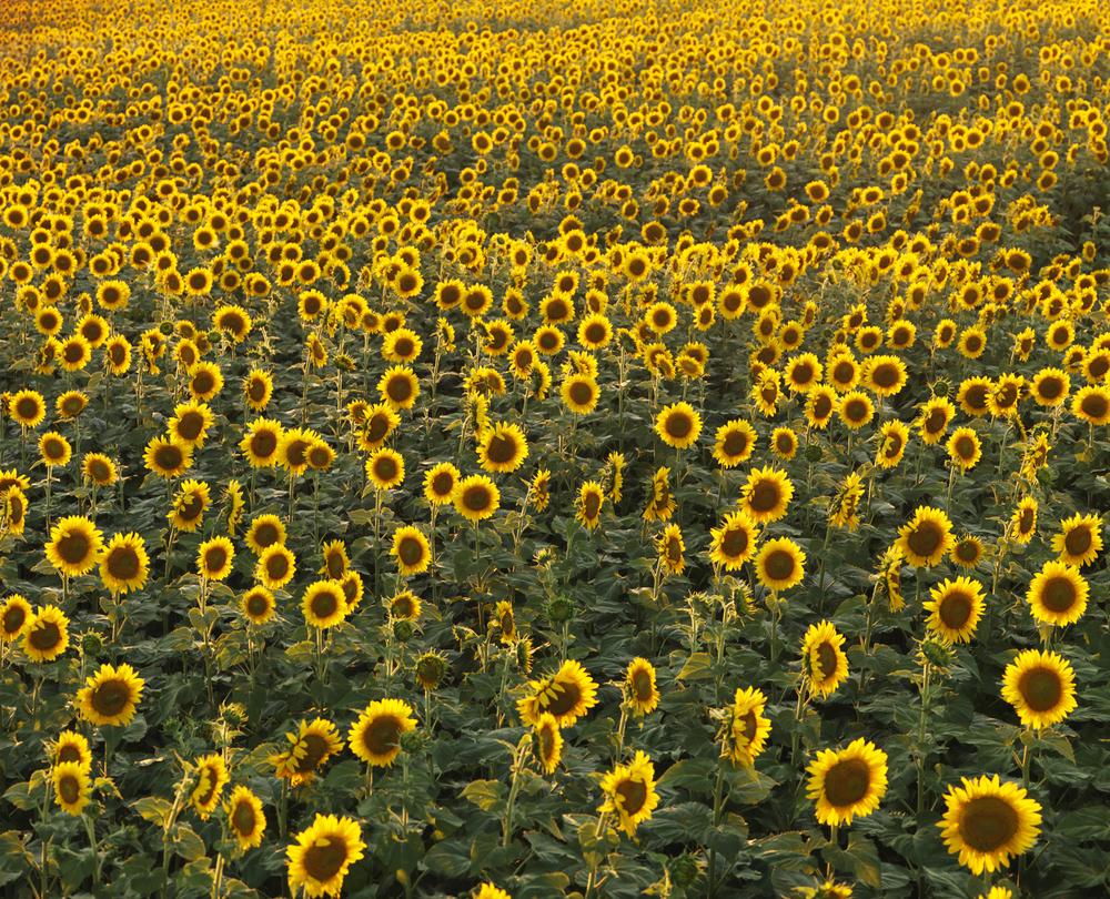 sunflowerfield_highres.jpg