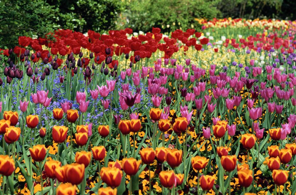 tulips_highres.jpg