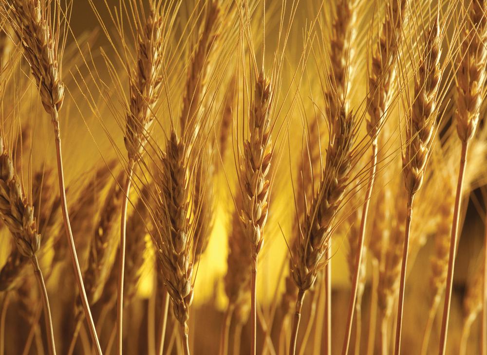 texture_wheat_highres.jpg