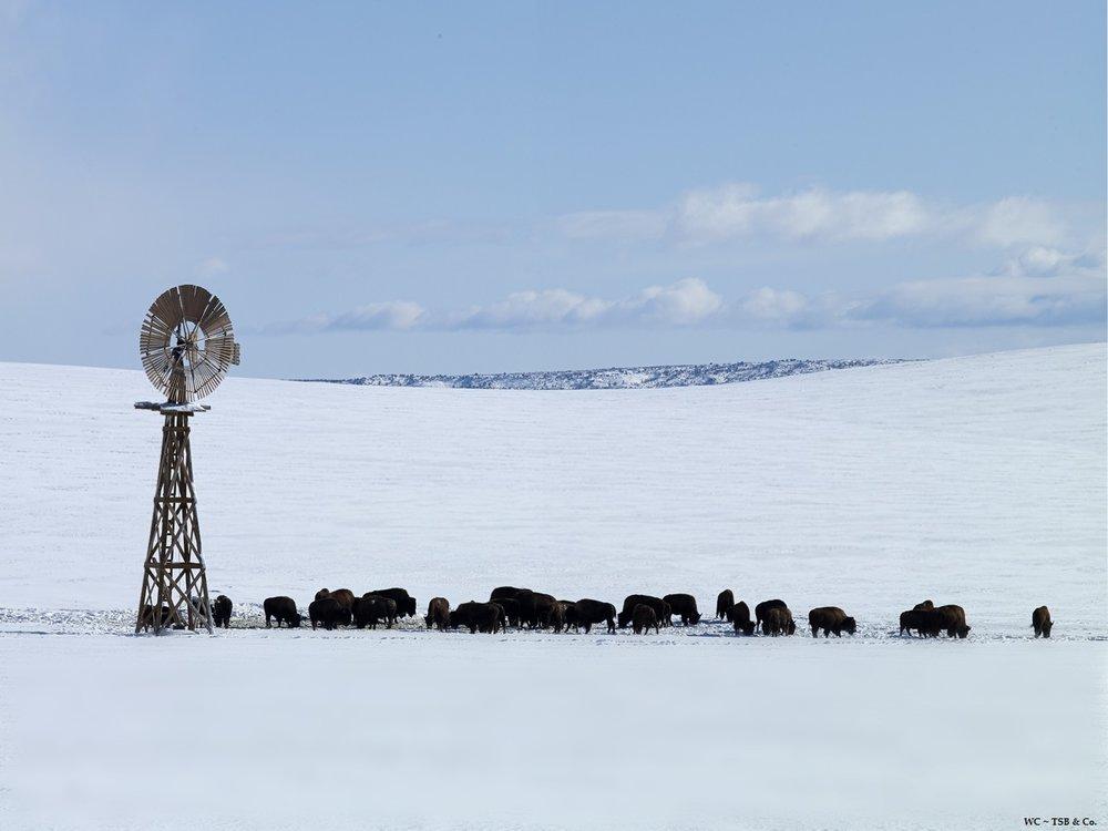 WC winter buffalo.jpg