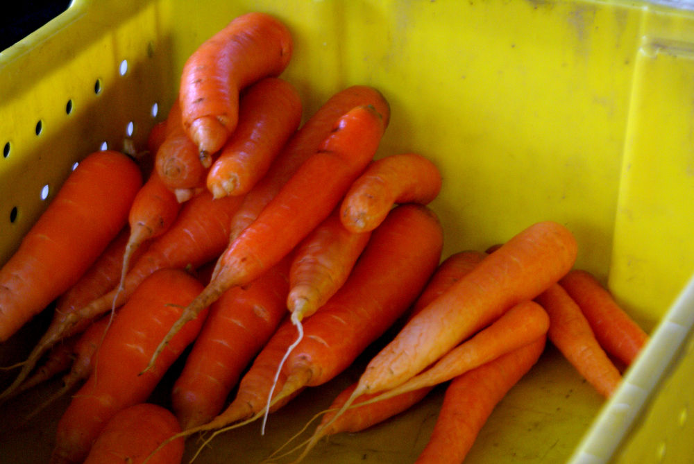 Freshly harvested and washed carrots ready to be packed.