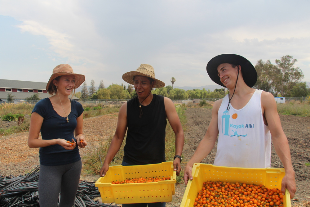 Farm Interns, Lily, Yoni, and Sam are enthusiastic about this summer's tomato harvest!