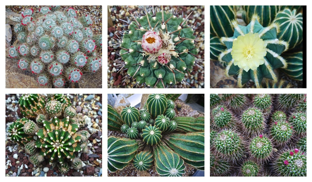 Conservatory Cacti
