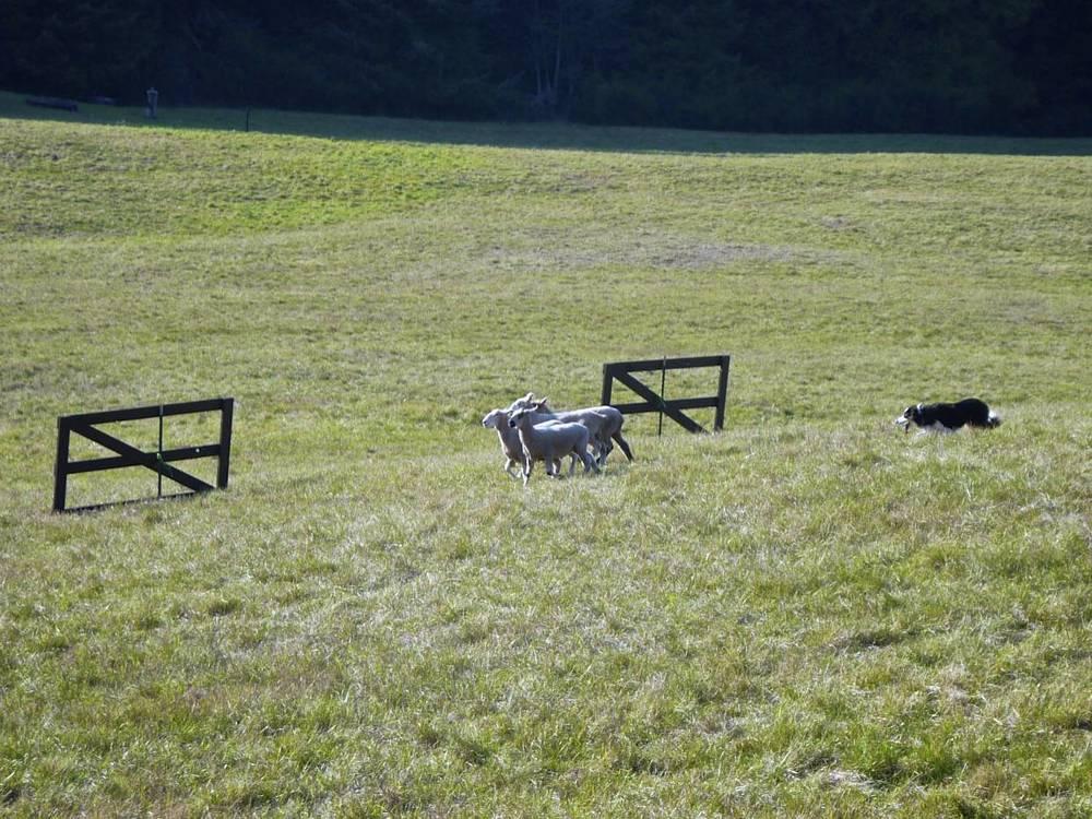 Herding sheep through the fence