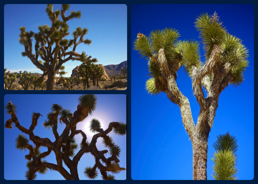 Joshua Tree - Up close & personal