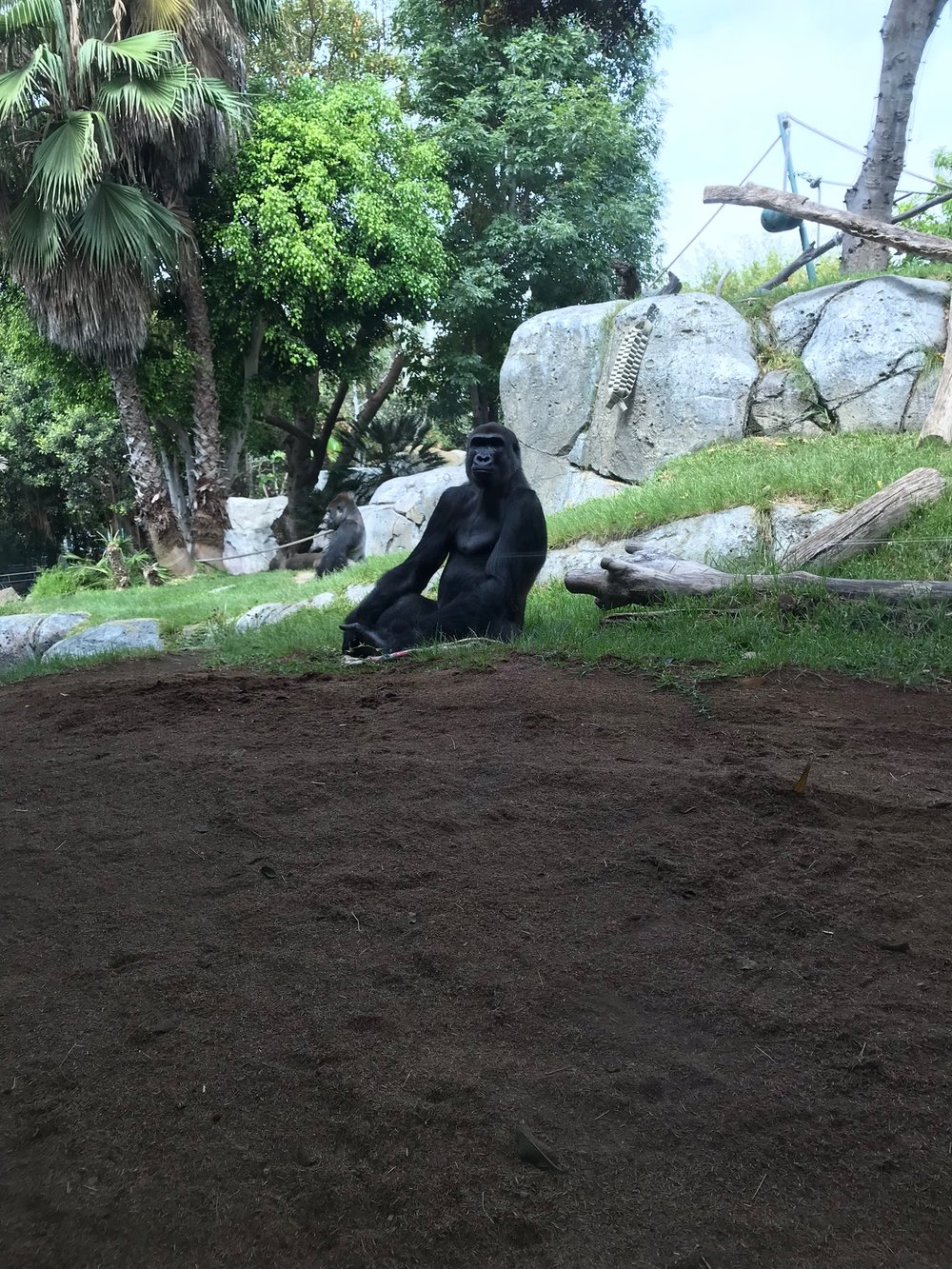 San Diego Zoo: Mr. Gorilla