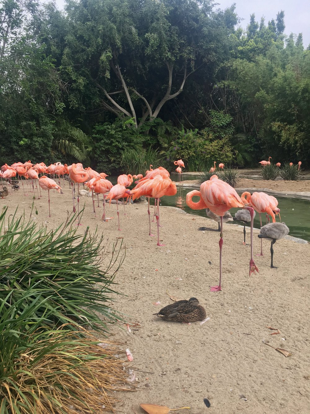 San Diego Zoo: Flamingos!