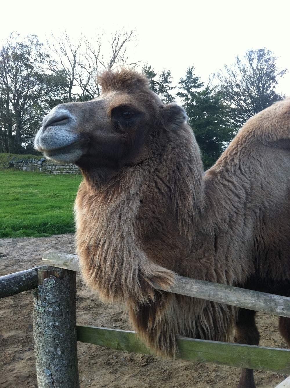 ZenPlugs Helps Camel Breeding Programme With Ear Plugs For Camel
