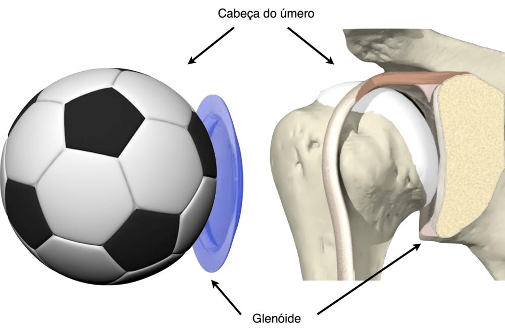 Anatomia do ombro e estabilidade