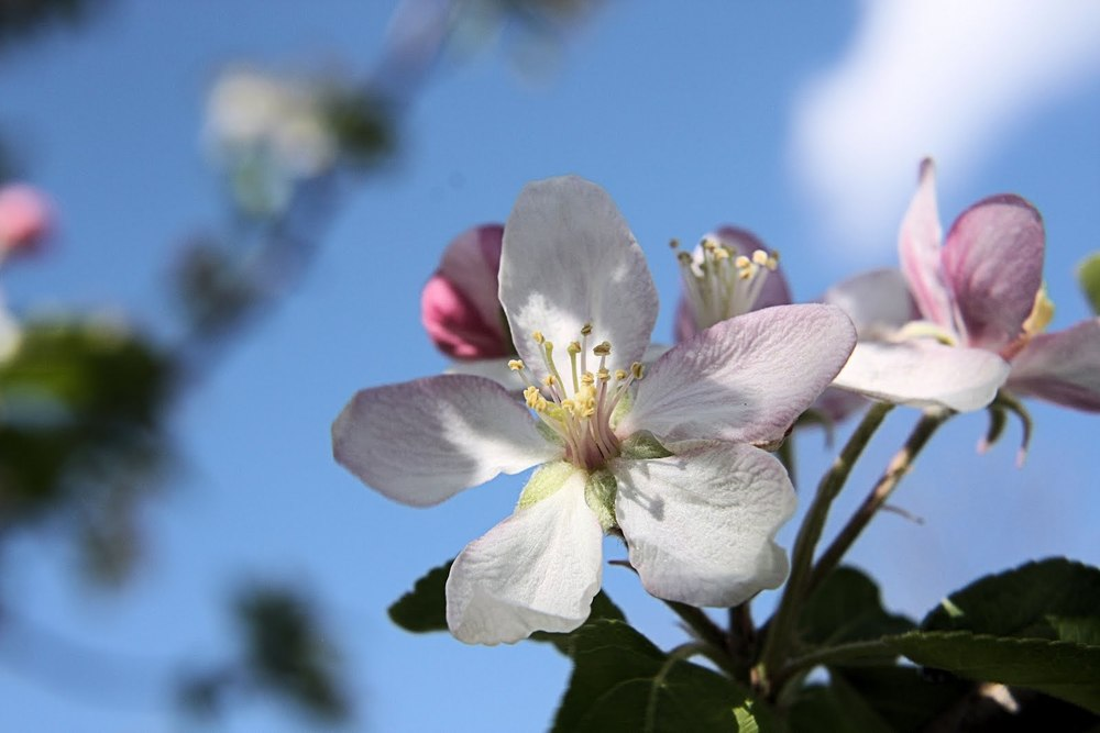 Apple Blossom Time.jpeg