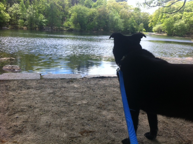 Abby watching ducks at Menotomy Rocks Park