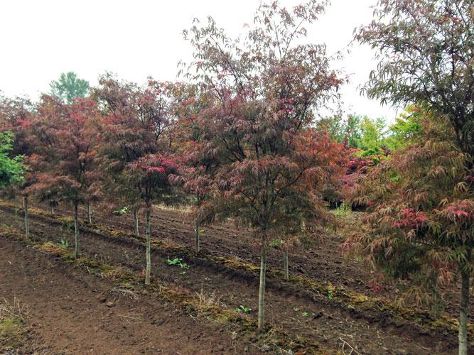 Acer-palmatum-Scolopendrifo.jpg