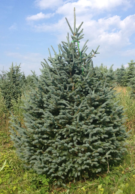 Engleman-Spruce.jpg