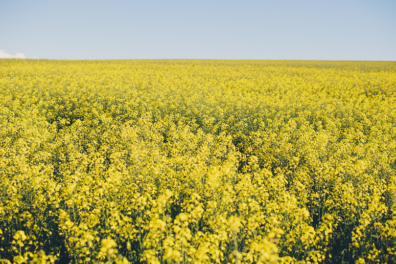 Canola Fields Blog-1.jpg