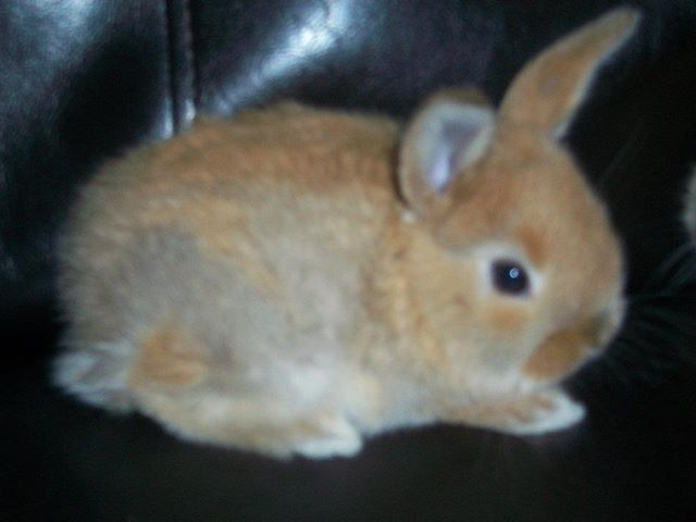 The bunny I want and will get in the near future