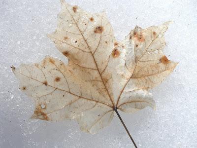Leaves in snow.JPG