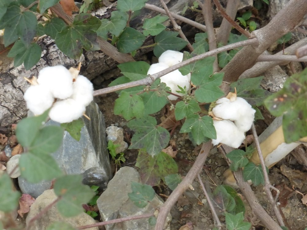 A nice group of white cotton from Virginia seeds.