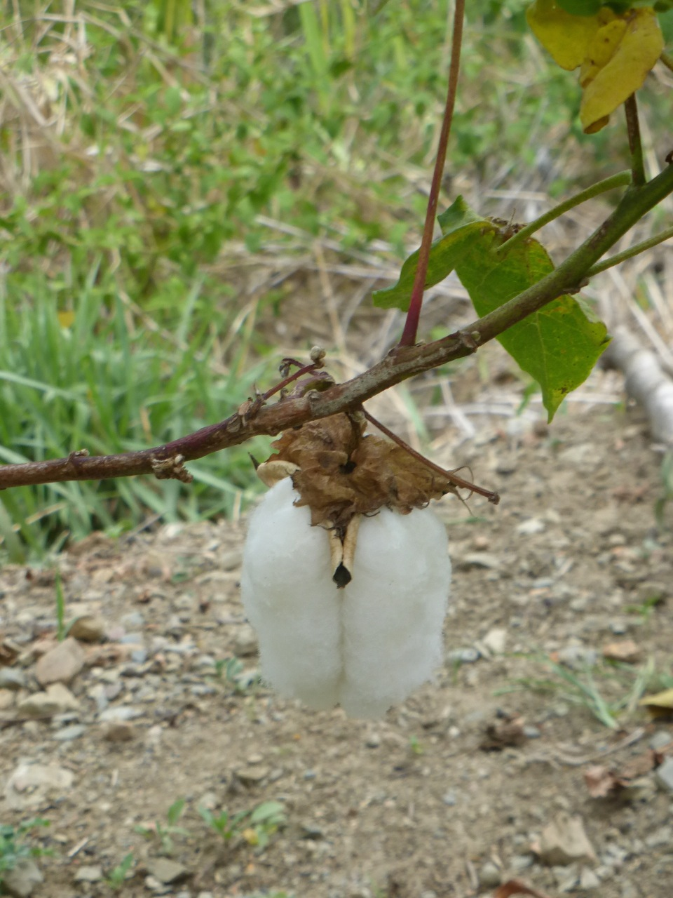 This is the Ecuadorean white cotton. It hangs down in 3 long pendulums. They call it 'bulls balls' for obvious reasons.