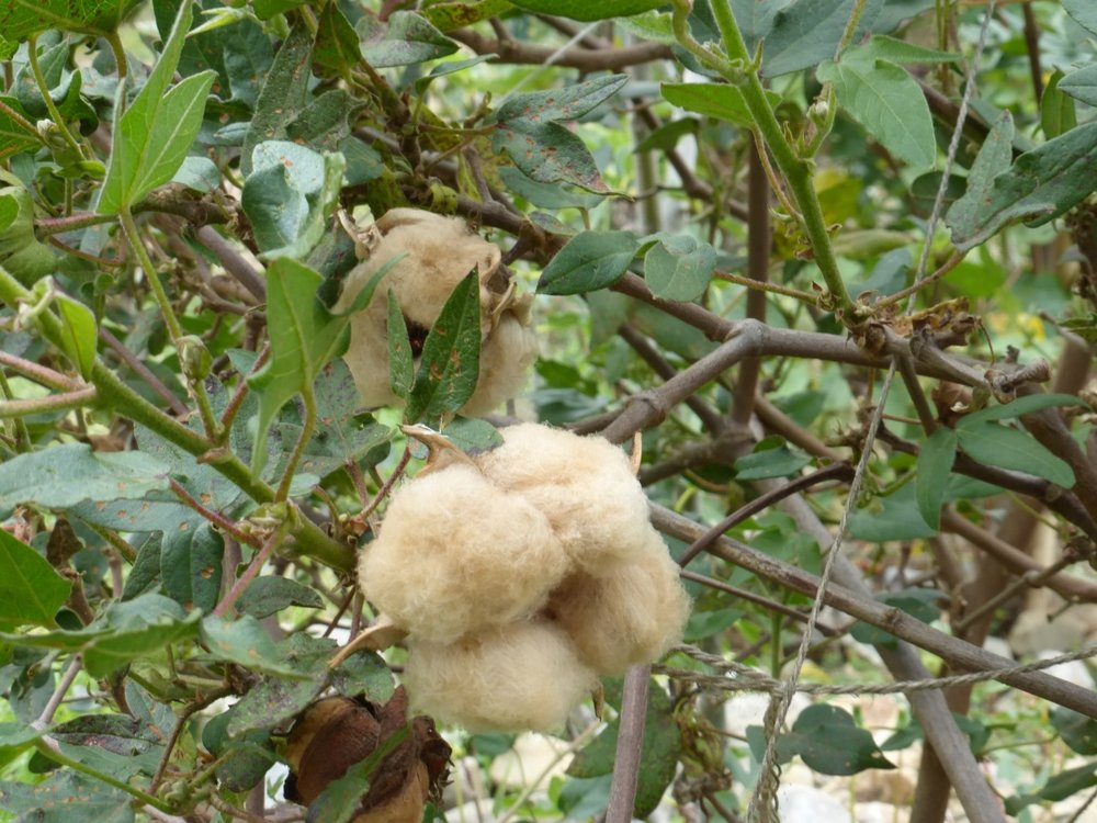 The Ecuadorean brown cotton plants have 4 parts and don't dangle like the white cotton.